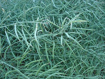 Семена рапса озимого Гром РС-ІМІ посевной материал