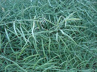 Семена рапса озимого Чорний Велетень посевной материал
