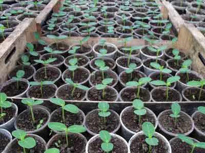 Правила проращивания рассады