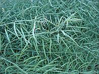Семена рапса озимого Торес Сингента  посевной материал