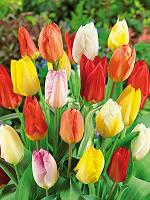 Тюльпаны гибриды Фостера смесь 10 луковиц