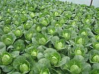 Выращивание ранней капусты. Подготовка почты