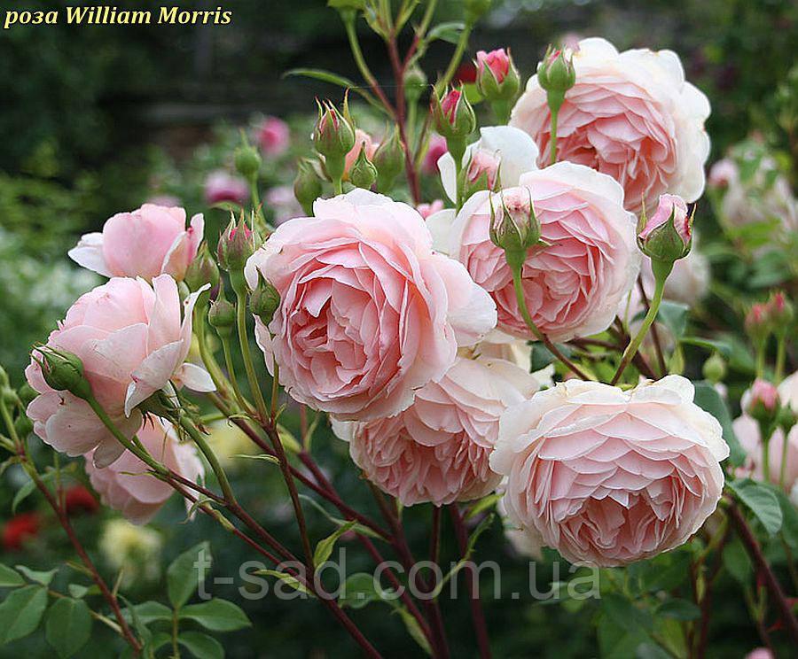 Роза William Morris (Вільям Морріс)