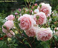 Роза William Morris (Уильям Моррис), фото 1