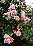 Роза William Morris (Вільям Морріс), фото 3