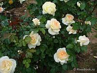 Роза Чайковский