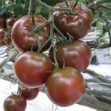 Семена томата Сашер F1 (100 сем.) Yuksel seeds