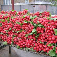 Семена редиса Сора (250 г)