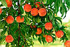 Саженцы Плодовых Деревьев Опт