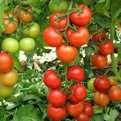 Семена томата Анталия F1 (100 сем.)