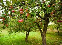 Где лучше посадить молодую яблоню