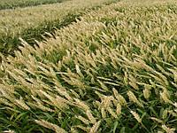 Насіння пшениці озимої Мулан (1 репродукция)