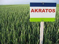 Насіння пшениці озимої Акратос (1 репродукція)