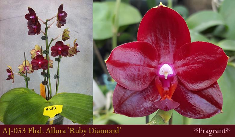 Подростки орхидеи. Сорт Phal. Ruby diamond ( он же mituo king №1), размер 1.7 без цветов