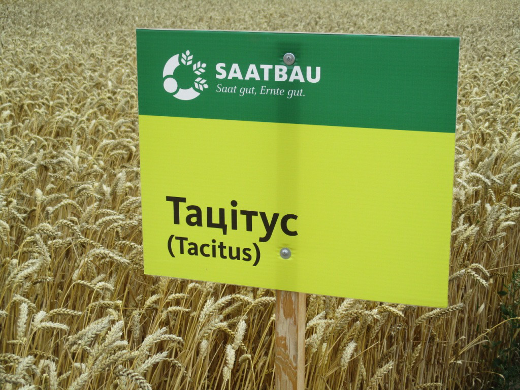 Насіння пшениці озимої Тацитус (Австрія) 1-ша репродукція