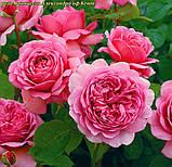 Роза Princess Alexandra of Kent (Принцесса Александра Кентская), фото 3