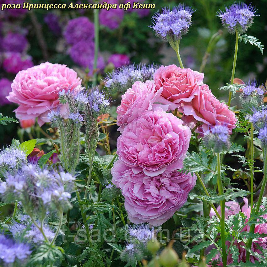 Роза Princess Alexandra of Kent (Принцесса Александра Кентская)