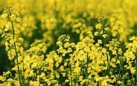 В Украине семена озимого рапса под урожай-2018 обрабатывали против двух болезней