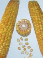 Насіння кукурудзи PR39K13 ФАО 220