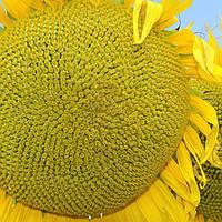 Насіння соняшника НС Златибор (стйкий до вовчка) (стандарт 8 кг, екстра 11 кг)