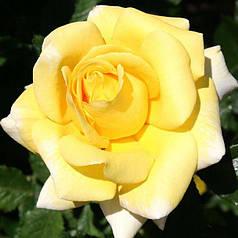 Роза чайно-гибридная Беролина (Berolina)