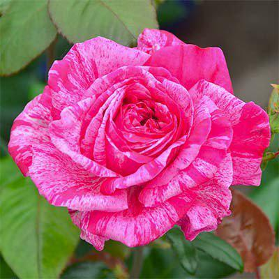 Роза чайно-гибридная Сrazy Fashion (Крейзи Фешн)