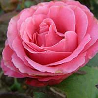 Роза чайно-гибридная Монтесума (Montezuma)