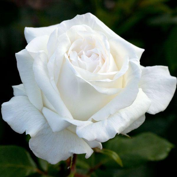 Роза чайно-гибридная Полар Стар (Polar Star)
