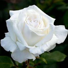 🌹 Роза чайно-гибридная Полар Стар (Polar Star)