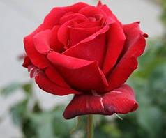 Роза чайно-гибридная Роял Вильямс (Royal Williams)