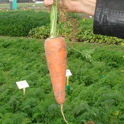 Семена моркови Карини (50 г)