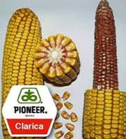 Насіння кукурудзи 3893 Clarica ФАО 310