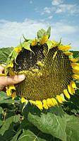 Цветок солнца удивляет своими семенами