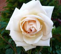 Троянда Англійська Penny Lane (Пенні Лейн)