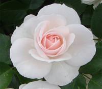 Троянда Флорібунда та поліантові Aspirin (Аспірин), 3 шт.