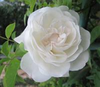 Троянда Флорібунда та поліантові Schneewittchen (Шневітчен)