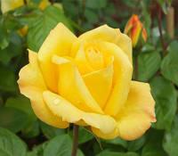Троянда Флорібунда та поліантові Arthur Bell (Артур Белл)