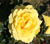 Троянда Паркова Chinatown (Чайнатаун)