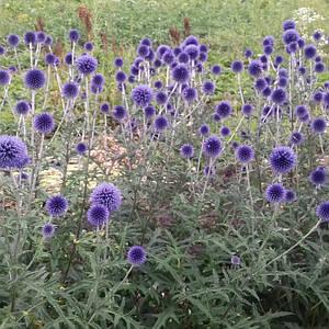 Мордовник (синеголовник) садовый