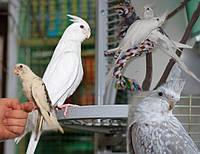 Продам попугаев бесщекие Кореллы.