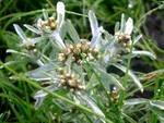 Сушеница болотная лекарственная трава
