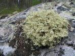 Цетрария, исландский мох