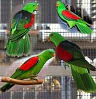Попугай краснокрылый птенцы Aprosmictus erythropterus
