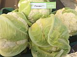 Семена цветной капусты Гохан F1 (2500 сем.) Syngenta, фото 2