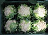 Семена цветной капусты Гохан F1 (2500 сем.) Syngenta, фото 4
