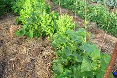 Выращивание огурца на соломенных матах
