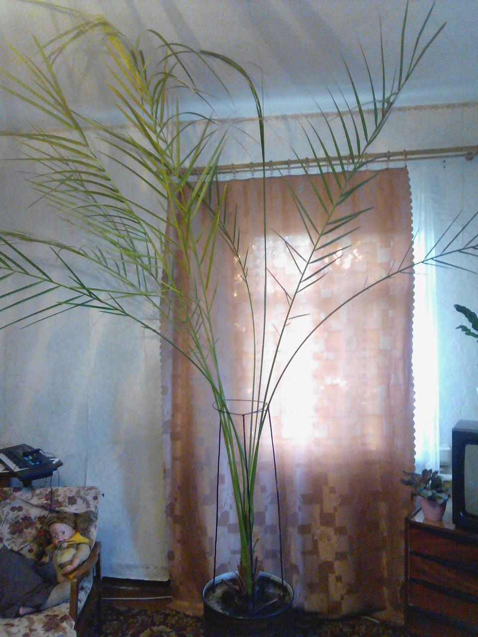 Финиковая пальма 2.5 метра!