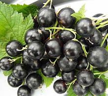 Саженцы смородины черной Черный Бумер