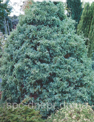 Кипарисовик горохоплодный Squarrosa, фото 2