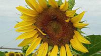 Квітка сонця, як приємно називати соняшник - це одна з найважливіших і поширених культур в нашій країні. Зерна використовуються для виробництва масла, також застосовують в харчових і технічних цілях. Це одна з найприбутковіших культур